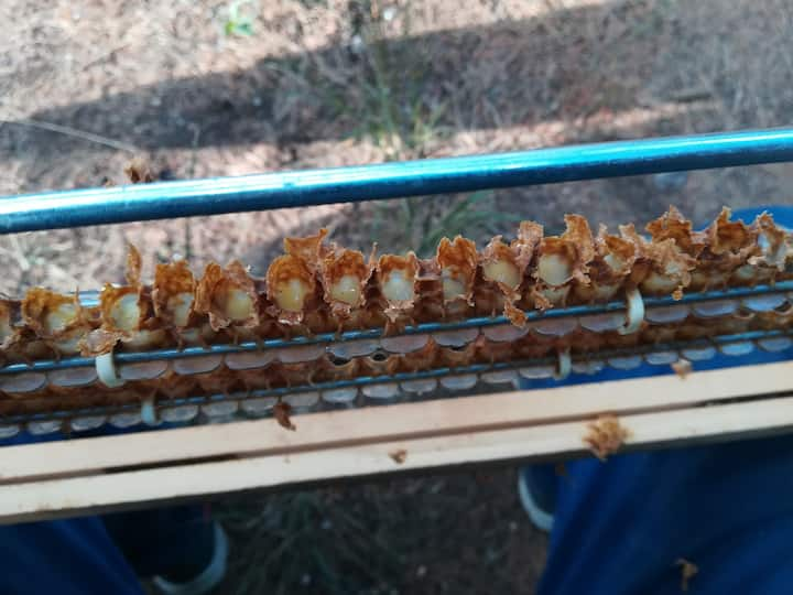 Collecting royal jelly