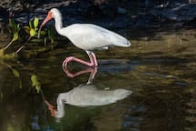 White ibis reflecting