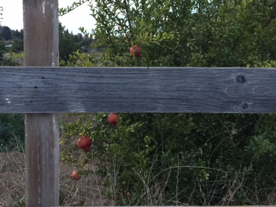 Fruit trees in and around property