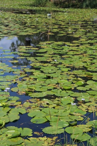 Lily pond retreat - Goonellabah