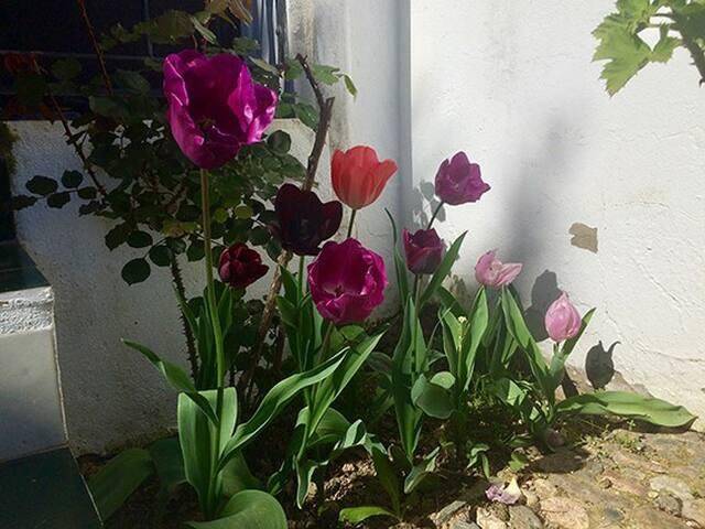 el tulipán , verlaluz.es