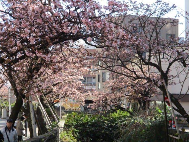 Atami Cherry blossom in January