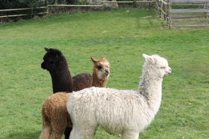 Our three alpacas, Wingnut, Rusty and Ombre