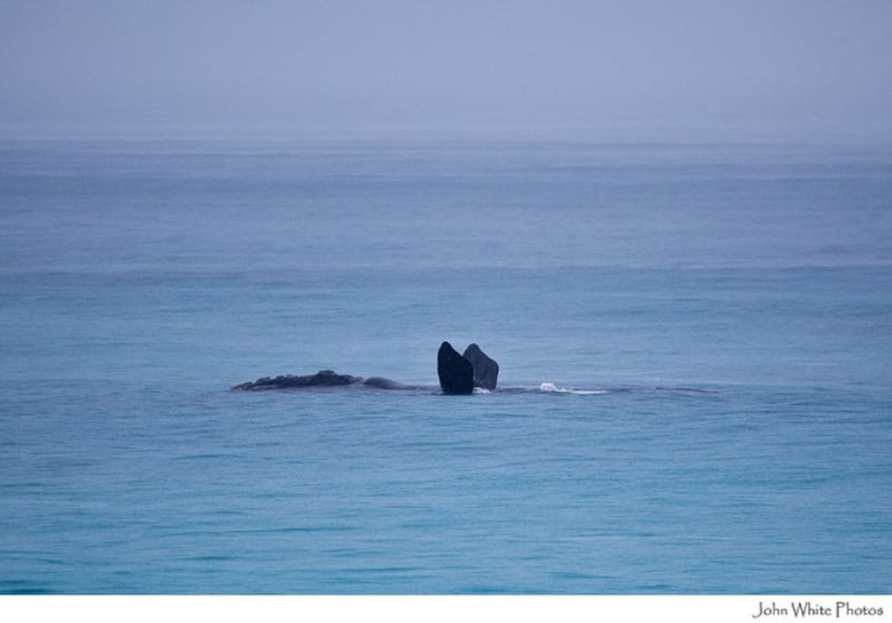Southern right whale, Sleaford bay