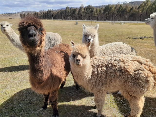 Friendly farm stay.  Stop and feed the Alpacas.