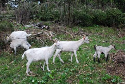 lovely goat farm near Bled