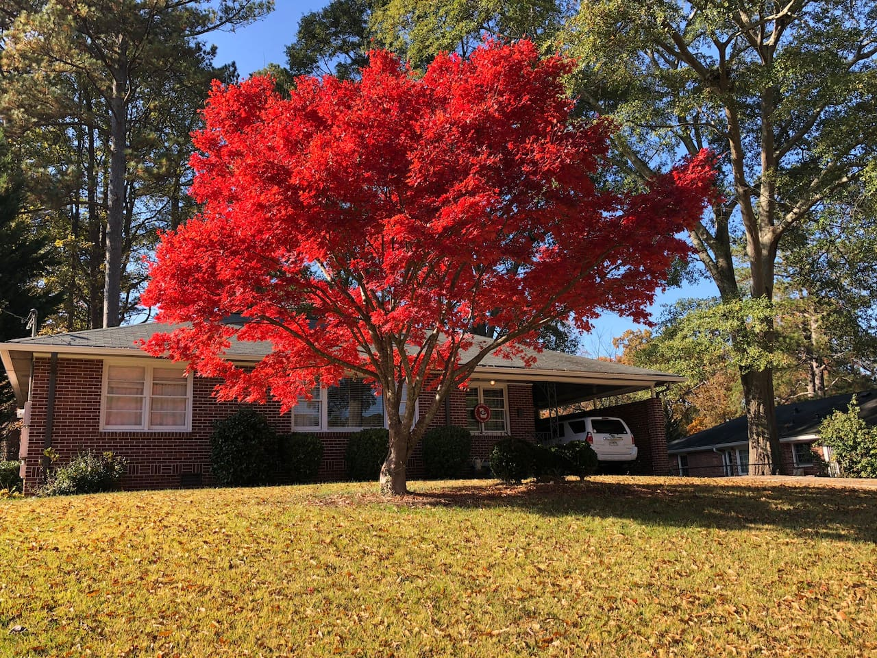 Beautiful Japanese Maple that brightens up the yard every fall!
