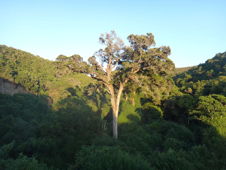 Slow down your driving and see the wise old Yellowwood trees in the Groot River pass towards Nature's Valley.  It's an easy walk to them from the entrance of the camping site.