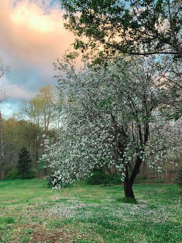 Our apple tree in the spring.