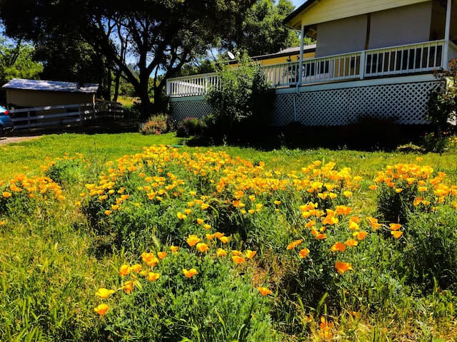 Springtime California poppies