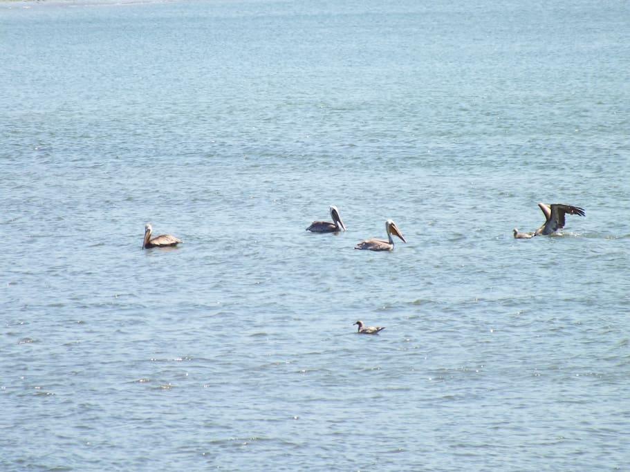 Grey Pelicans on a Grescent Beach.