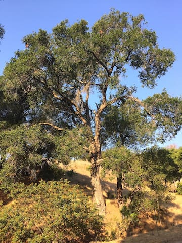 Amazing native California trees grace this blessed land