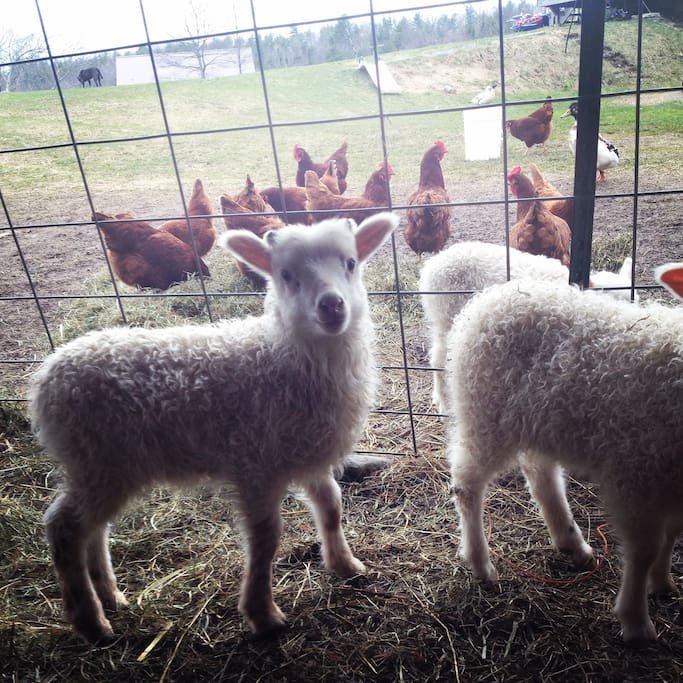 Spring time means cute little lambs!