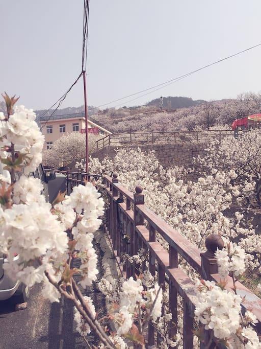 五月樱桃任您吃