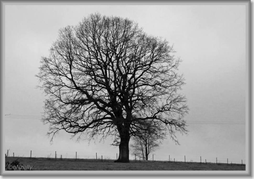 Ce magnifique chêne détermine le domaine