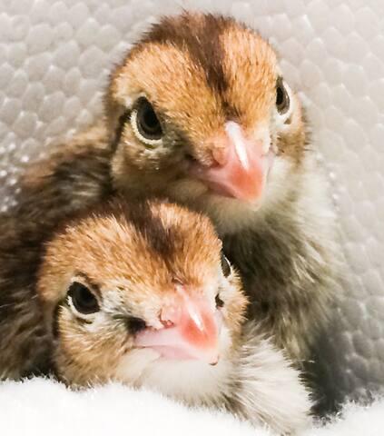 Adorable baby quail.