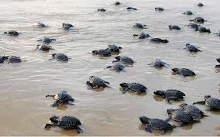 Velas - The Turtle Breeding Village 2