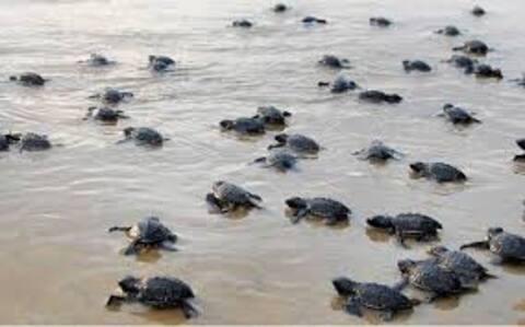 Velas - The Turtle Breeding Village 2