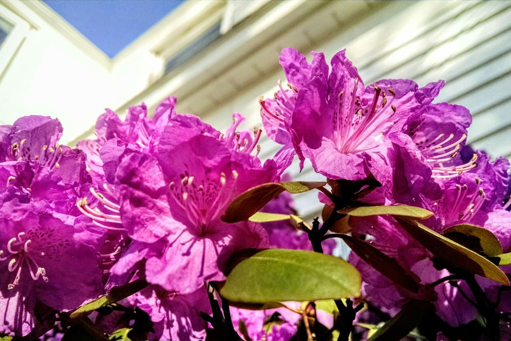 Intense purples of the Hydrangea bush out front.