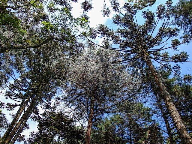 Araucárias e muitas outras árvore...