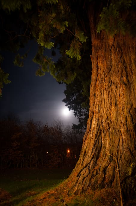 One of the giant Redwoods at night
