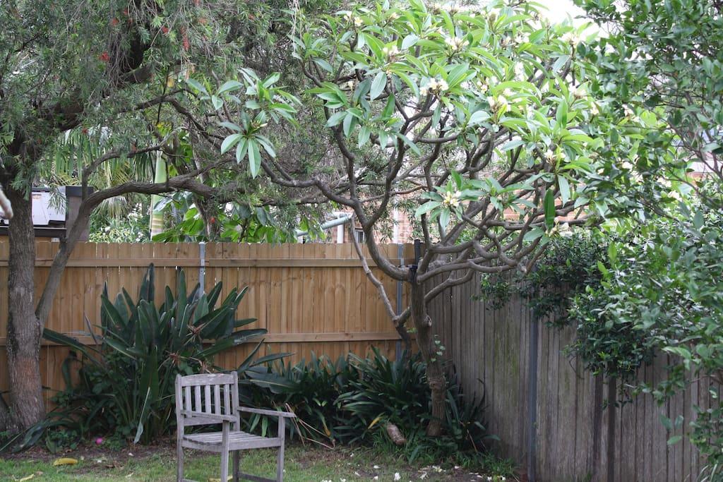 Beautiful frangipani tree in the back garden
