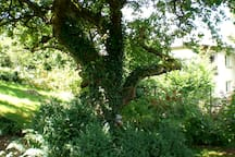 Der alte Freund, der Baum, der Apfelbaum