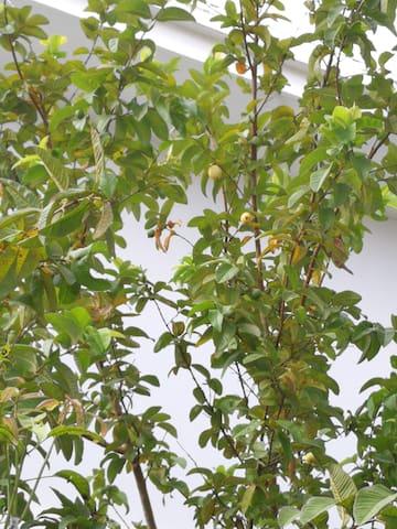 院子里面的果树