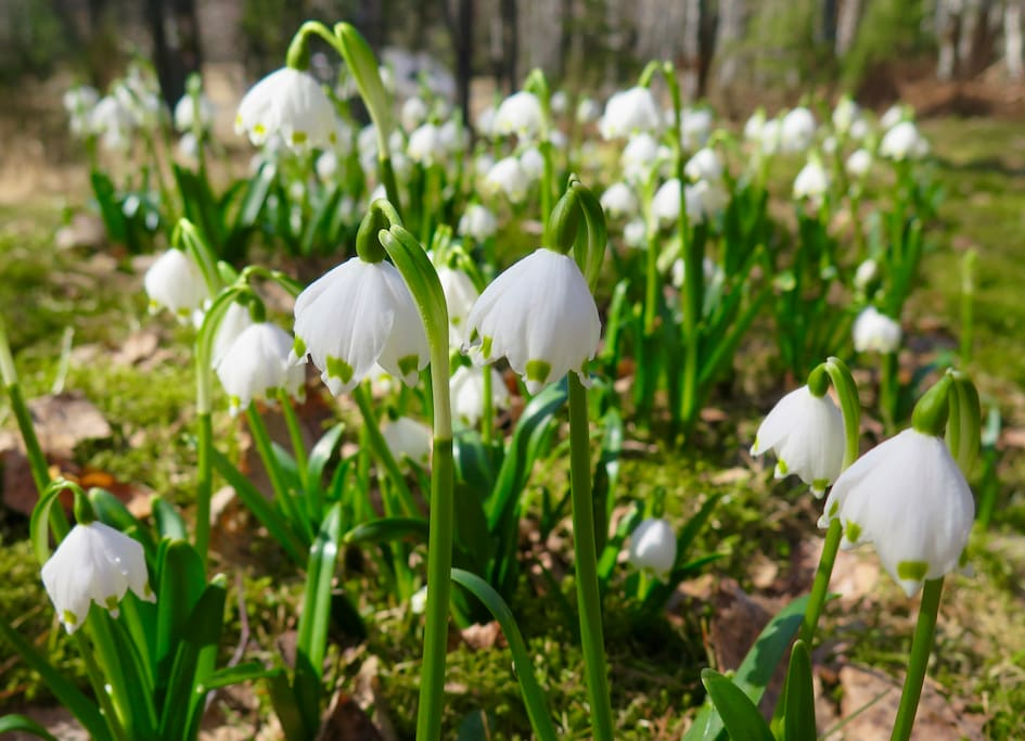 Snowdrops and birdsongs at yard, April 19th.