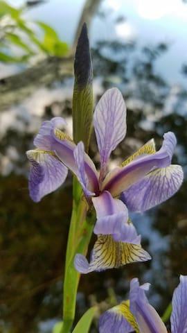 Lilies grow wild near the ponds.