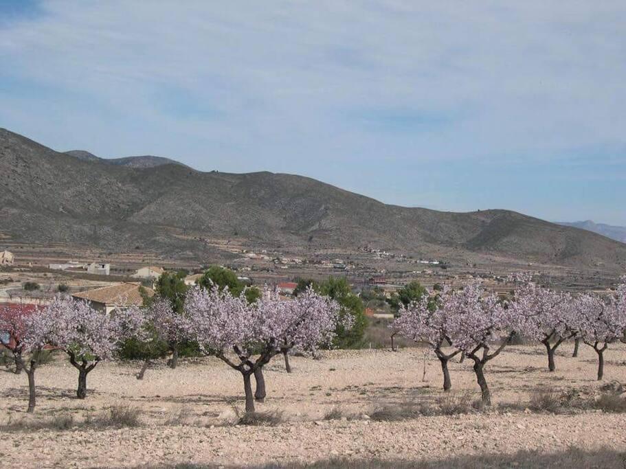 Beautiful Almond blossom in mountain fields