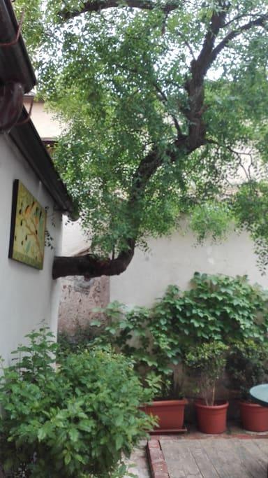 albero delle giuggiole