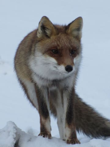Wakaho is a treasure trove of wildlife The fox will come near the hotel in the evening キツネは夕方から夜に宿の近くにも来ます