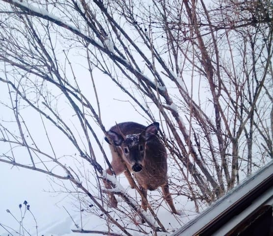 The cabin shares property with wildlife like this curious buck.