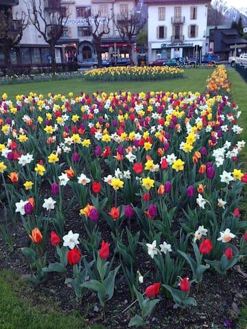 Les tulipes chamoniardes au printemps
