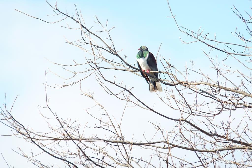 A watchful resident Kereru