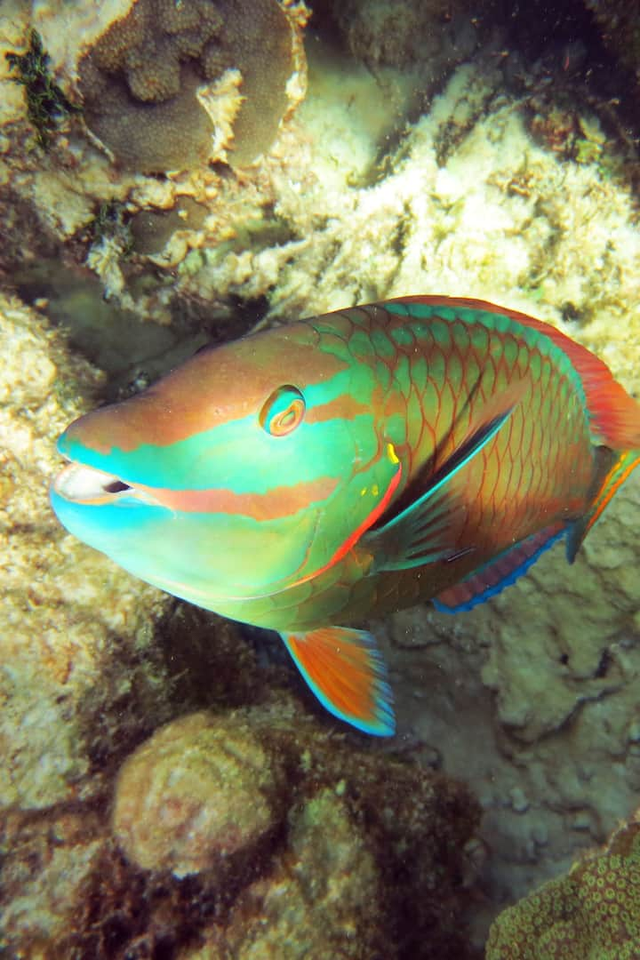 Parrotfish-Pez loro