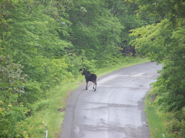 MOOSE SIGHTINGS - We spotted this big boy on Elliotsville Road, only about a mile from our cabin.