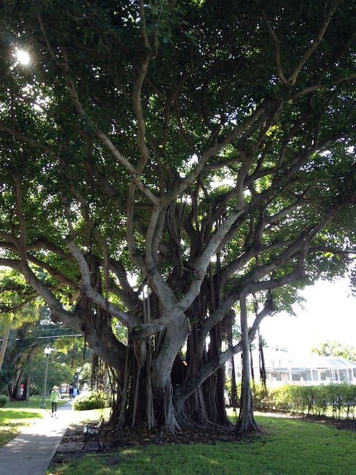 Banyan tree in neighborhood park