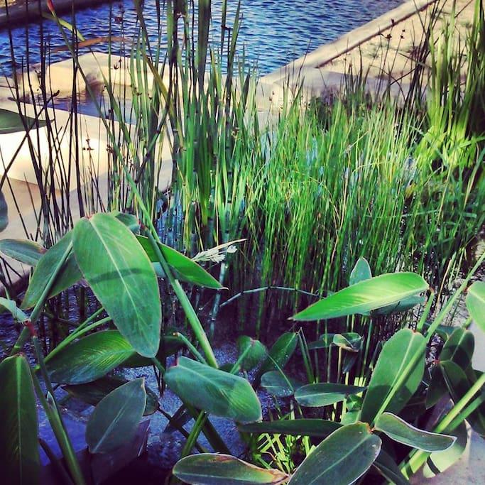 Plantes dans le bassin qui régénère l'eau