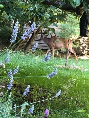 Deer visits