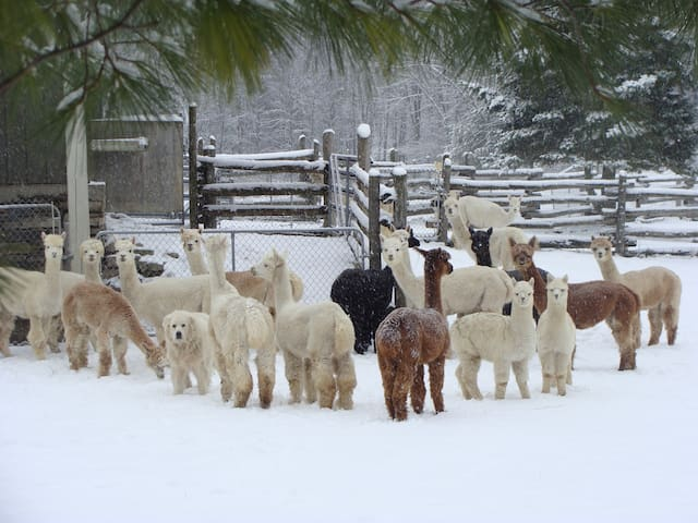 Our alpaca girls in the snowy pasture.