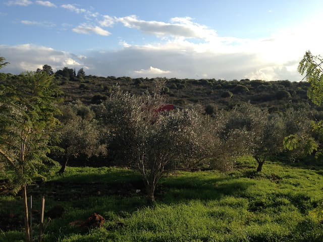 Olive groves around the house