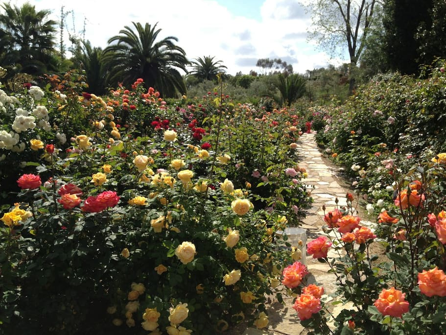we have over 250 rose bushes lining the path to the tennis court