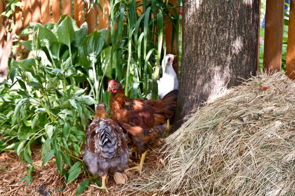 Here you'll see 3 of our 5 chickens, Cheddar, Brownie, and Rocky. They like to hang out in the garden outside, and in our new coop on the backside of the garage. Your welcome to have their fresh eggs for breakfast everyday.