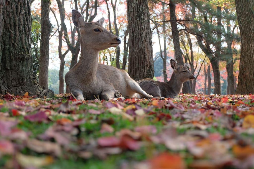 The beautiful and sacred deer in Nara park.