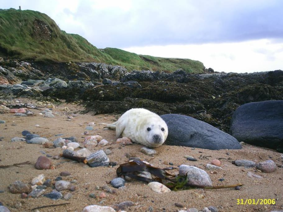 Sometimes baby seals rests on the sandy part of 'my' beach. This does not happen every year. One adult seal (Named Ernie) is often seen though, floating in the sea.