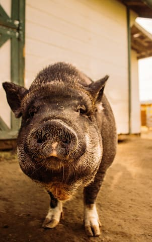 Miss Piggy, a farm resident!