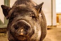 Miss Piggy, a farm resident!