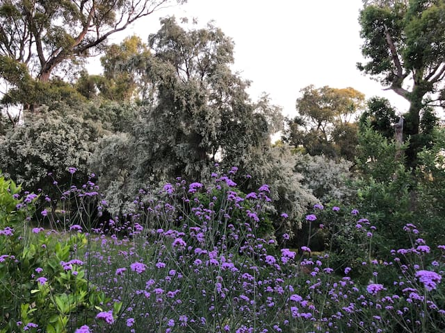 Looks like snow in Summer - tea tree flowers
